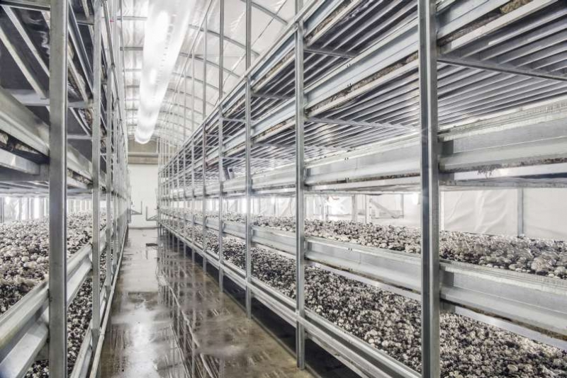Используемое под грибницу помещение должно быть чистым и светлым