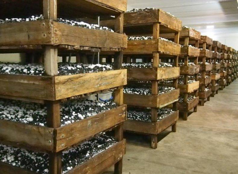 Для размножения грибов в домашних условиях используют ящики и контейнеры