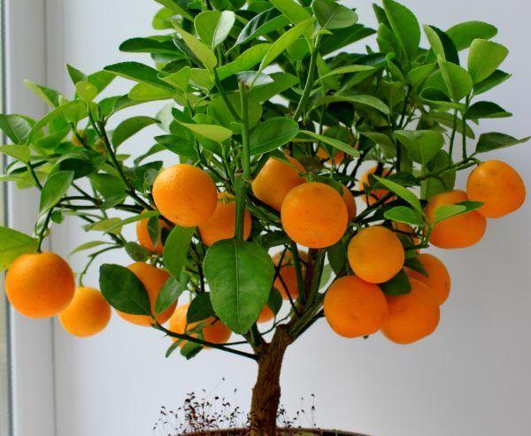 Апельсиновое дерево дома уход