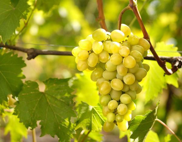 Виноград августин описание сорта посадка и уход