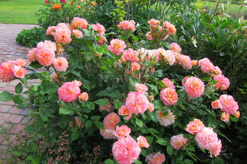 роза августа луиза фото и описание отзывы обычно бывают небольшого