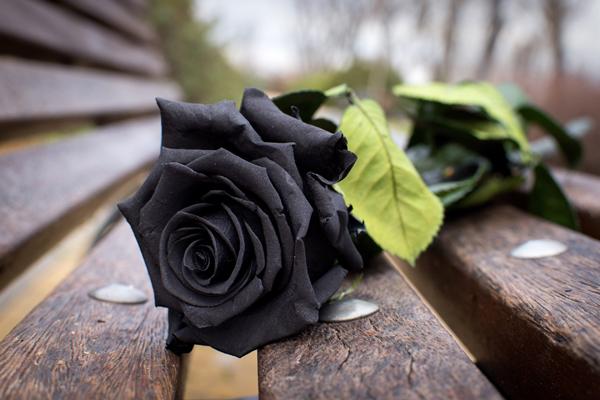 Самая черная роза сорт